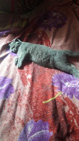 Пропал вислоухий котик