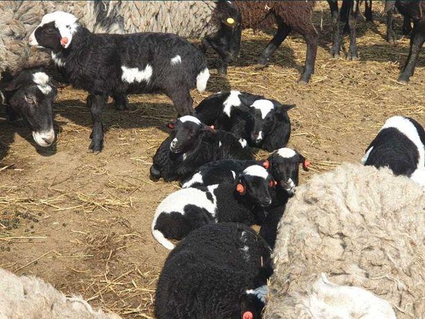 Барашки бараны овцы овечки ягня романовские дорпер енгильские