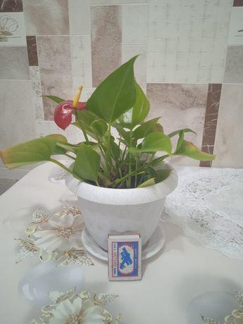 Антуриум или цветок мужское счастье