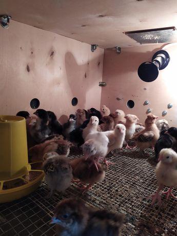 Цыплята суточные балапан в городе