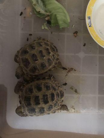 Продам маленьких черепах