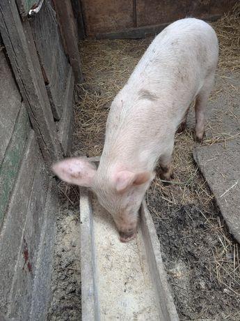 Продам свинку возраст 3 месяца