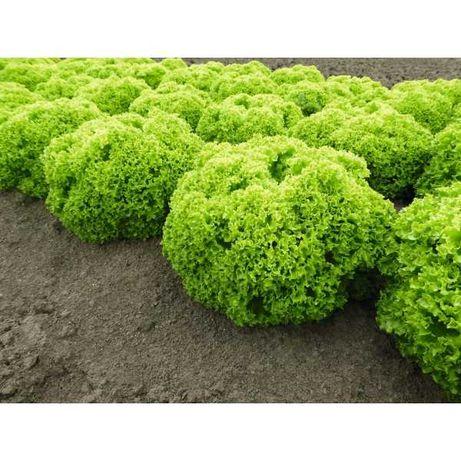 SEMINȚE Salată creață verde si vișinie(1000 BUCĂȚI)