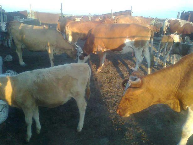 Крс оптом, корова с телятами, быки, общ. 23 шт.