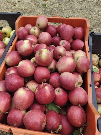 Яблоки, отборные, самосбор, падонки, сад нахолится в талгаре, учхоз,,