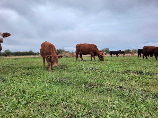 Vand vitele angus cu pedigree