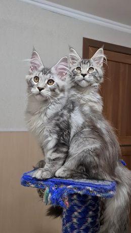 Серебряные Котята мейн-куны