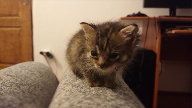 Donez pisicut pufos de 4 săptămani