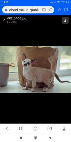 Эксклюзивные ориентальные котята