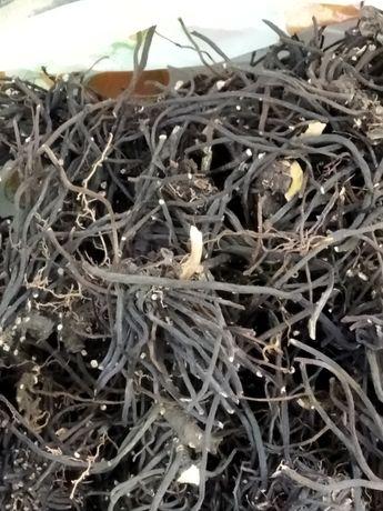 Spânz planta anticancerigena