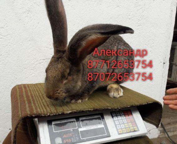Продам молодняк кроликов породы Фландер, Французский баран