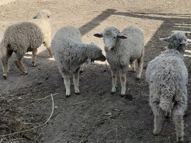 Продам ягнят и козлят