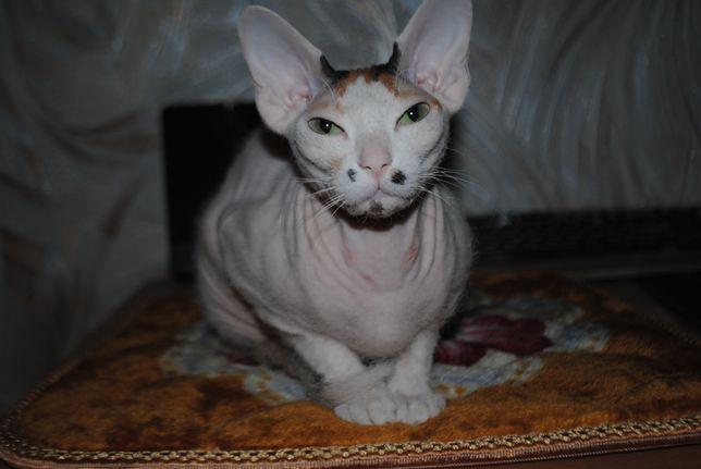 Кошка-сфинкс в добрые руки