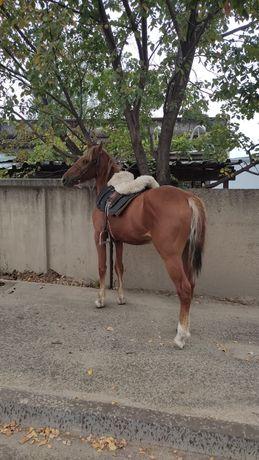 Жеребец, лошадь 2 года,