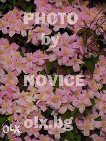 Клематис розов с аромат на ванилия, бяла хортензия