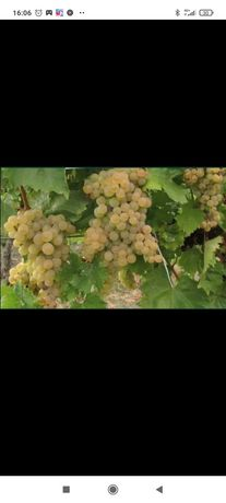 Struguri de vin cea mai buna calitate
