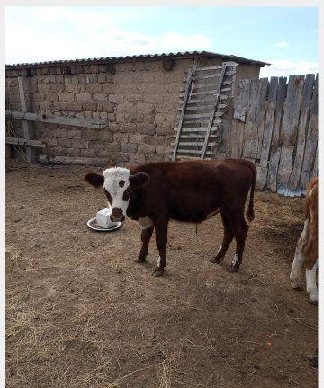 Продам бычка 6 мес-150 тыс.Чапаево