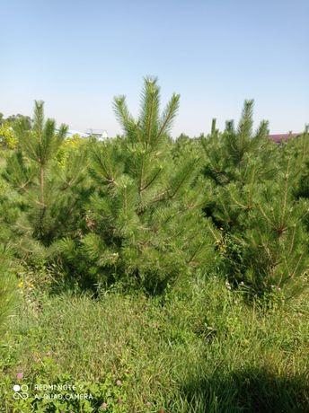 Туи мажевельник сосна ель озеленение газон пасадка пересадка