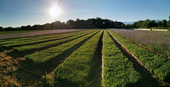 Лицензиран разсадник приема поръчки за разсад лавандула  есен 2020 г.