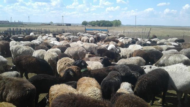 Овцеводческое хозяйство