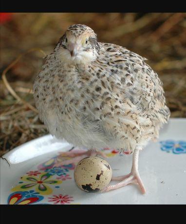 Яйцо перепелов оптом