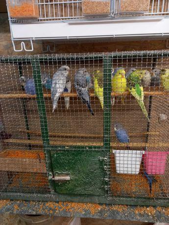 Papagalii Perusii puii