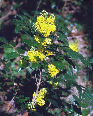 Vând mahonia(arbust)