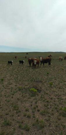 Продам коровы с телятами подсосными