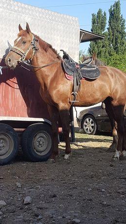 Лошадь Жеребец жеребец