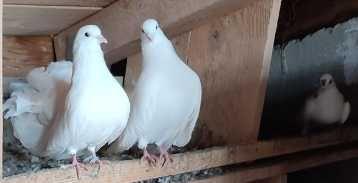 Porumbei voiajori, porumbei evenimente