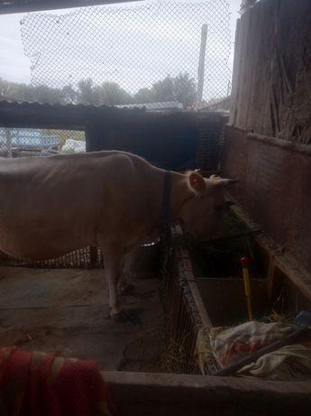 Продам Корову с теленком.