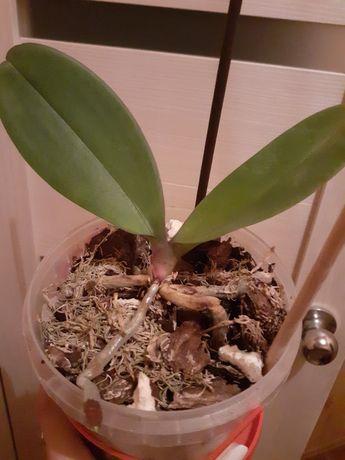 Продам белую орхидею