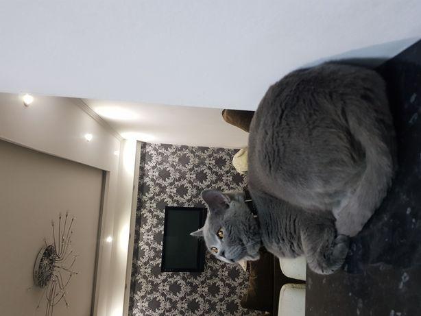 Породистый кот, с родословной, привит, опытный!