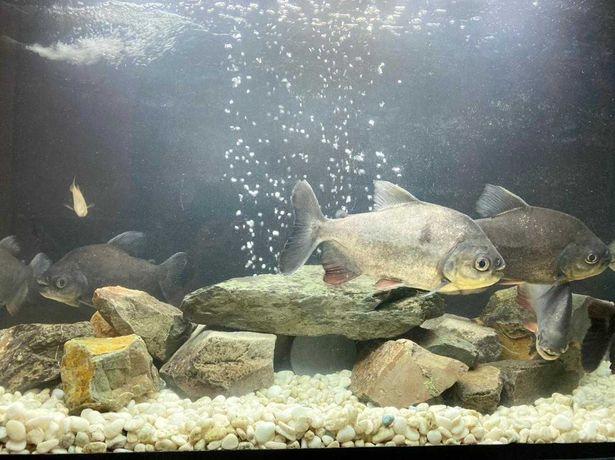 Аквариум 200л. с рыбками (пираньи большие)