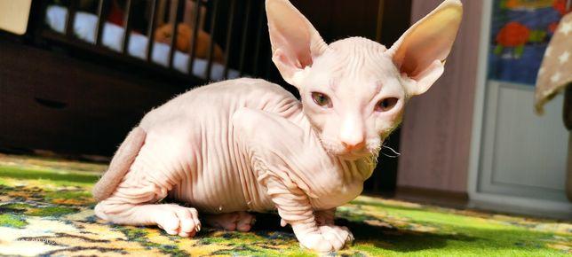 Котёнок донской сфинкс