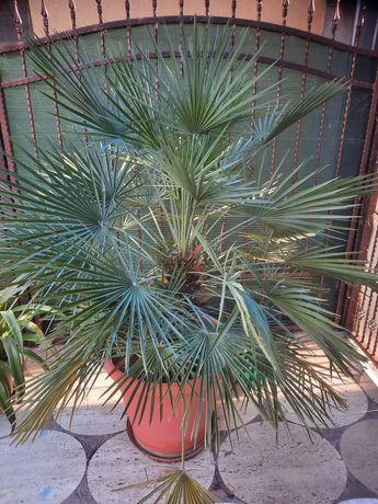 Vind doi palmieri