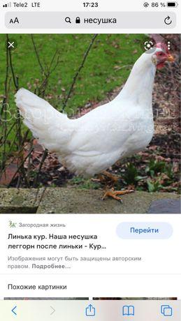 продаю кур несушки