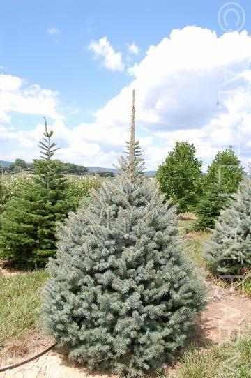Puieti molid argintiu-Picea Pungens Glauca Majestic Blue