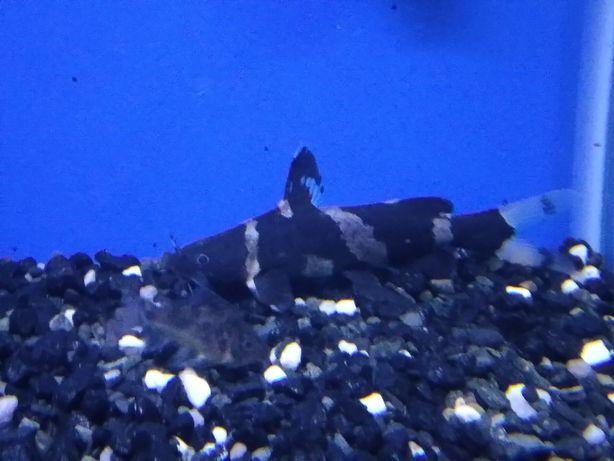Продаю или меняю аквариумный сом касатка