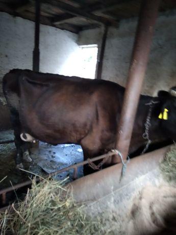 Vaca de lapte de vânzare
