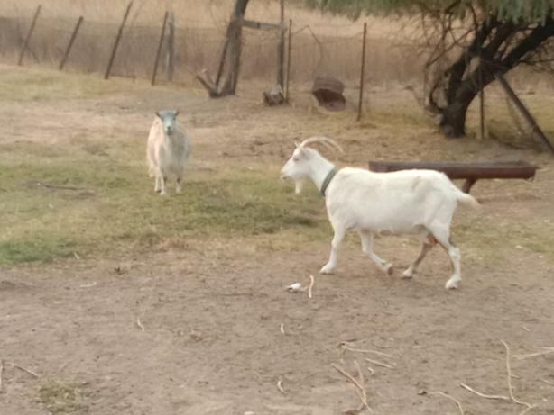 Продам козу зеаненскую