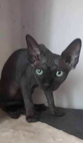 Pisici sfinx/sphynx  canadian