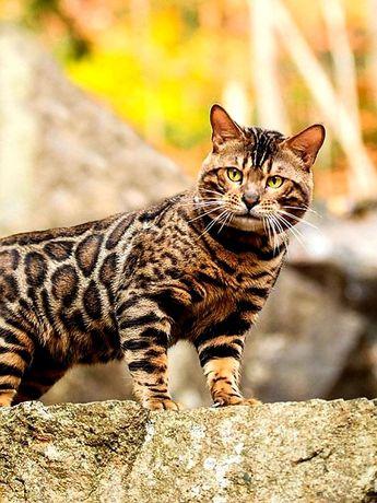 """Котята """"Леопардовые""""- Бенгальские!"""