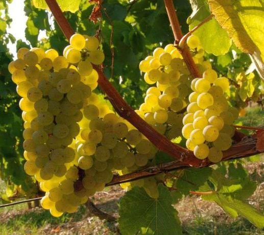 Vând struguri albi pentru vin