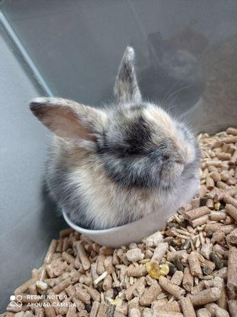 Кролик молодой декоративный