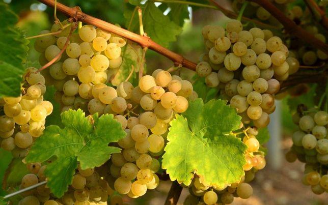 Стриг винограда 600 тг жузим кыркамыз ар туби 600 тг