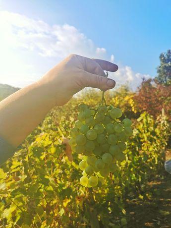 Struguri albi de vin Cramposie Dragasani