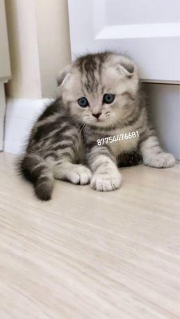 Большой выбор шотландских котят мраморные вискасы