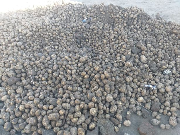 Продам картошку кормовую
