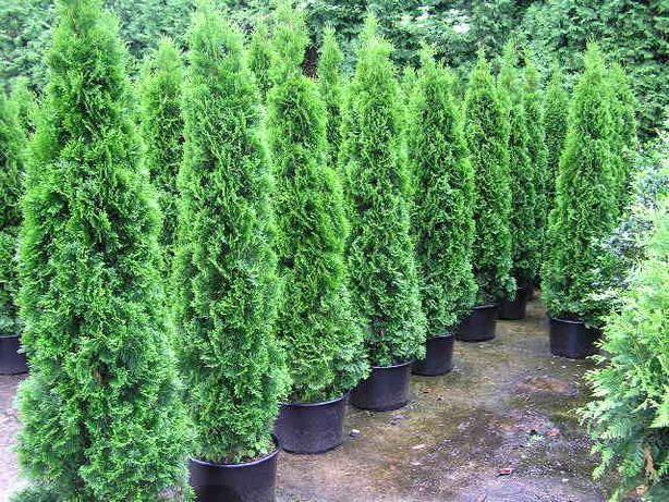 Tuia columnaris, smaragd, brabant, leylandii ( gard viu vesnic verde)